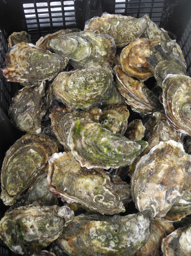 Oysters From Ireland's West Coast
